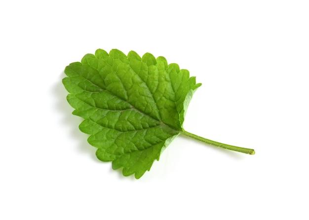 Green leaf of lemon balm isolated on white background.
