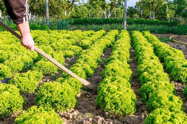 野菜畑の庭のベッドに緑の葉レタス。新鮮なレタスの葉。畑の列にレタスを育てる