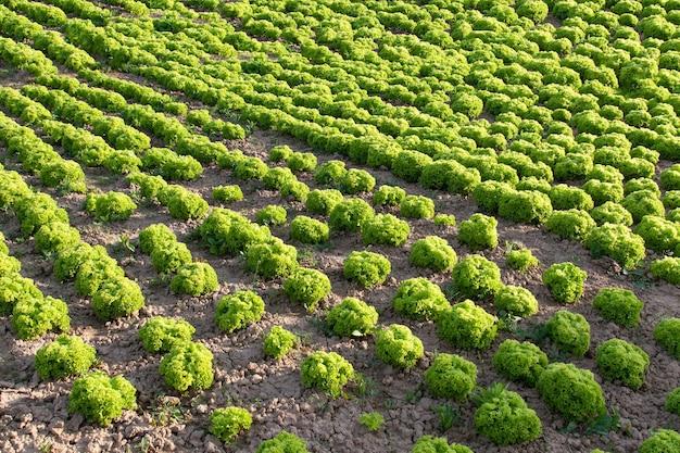 야채 밭에 있는 정원 침대에 녹색 잎 상추. 신선한 양상추 잎. 필드에서 행에서 성장하는 양상추