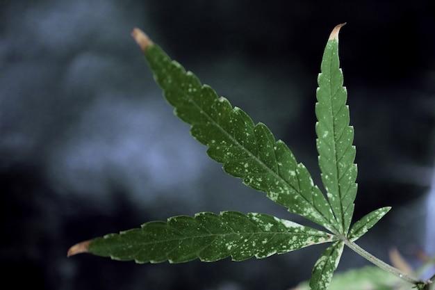 Green leaf of marijuana with a black background.