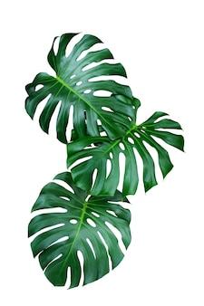 白い背景の上の緑の葉monstera、本物の熱帯のジャングルの葉の植物。