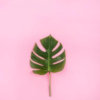 Green leaf of monstera