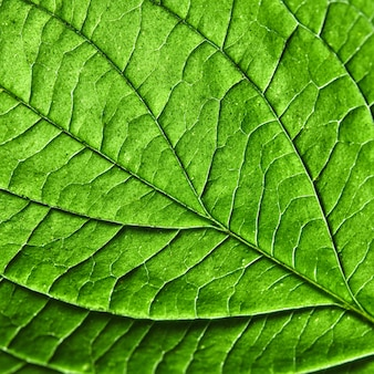 Green leaf natural background texture. macro photo. flat lay