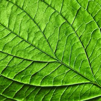 Зеленый лист естественный фон текстуры. макро фото. плоская планировка