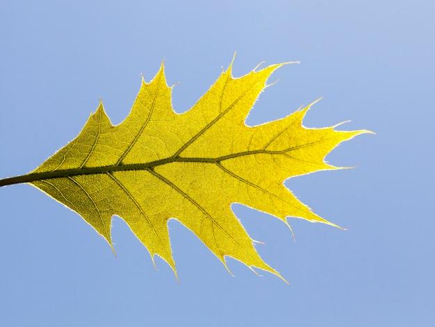 Green leaf of an oak tree in sunny spring light, a blue sky