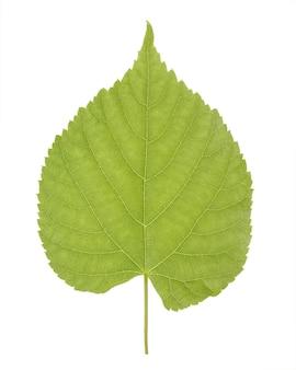 一般にライムの木と呼ばれるリンデンまたはティリアの緑の葉、または白い背景で分離されたシナノキ科またはアオイ科のライムの茂み。