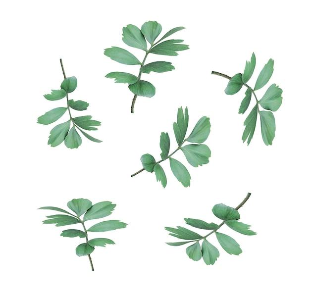 白で隔離のヤシの木の緑の葉
