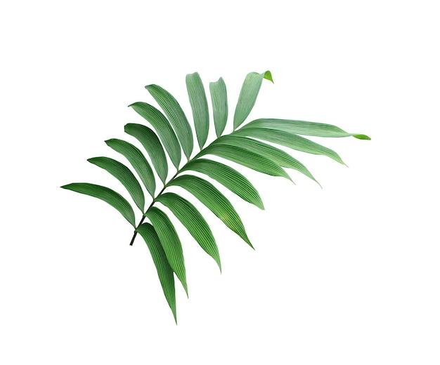 Зеленый лист пальмы, изолированные на белом фоне