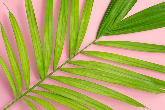 Зеленый лист пальмы на розовом фоне.