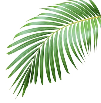 白い背景の上のヤシの木の緑の葉
