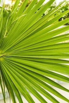 Зеленый лист пальмы вашингтон крупным планом фон