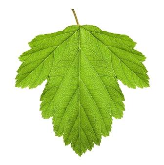 Зеленый лист на белом фоне