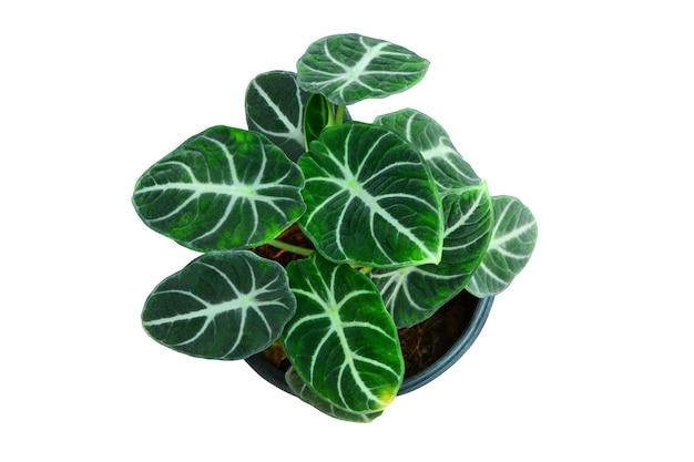 白い背景の上の緑の葉の観賞用観葉植物、本物の熱帯ジャングル観葉植物。