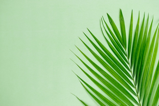Green leaf palm on pastel green  with copyspace