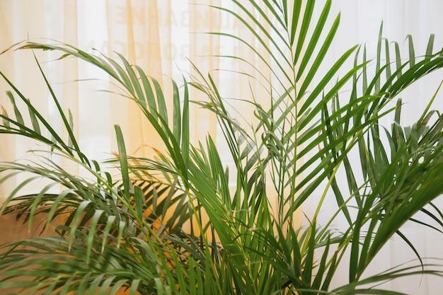 スタイリッシュな部屋のインテリアに緑の葉のヤシの鉢植えの植物。カールとモンステラ植物の背景の家の植物の葉。成長する熱帯雨林地帯を内部に残します。ホームスペースの緑化の概念