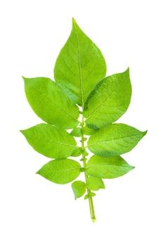 Картофель с зелеными листьями. изолированные