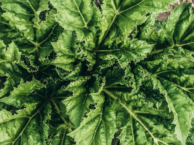 Текстура зеленых листьев / текстура листьев / копирование пространства