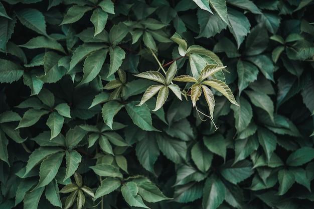 Текстура зеленых листьев, предпосылка текстуры листьев. естественная текстура листьев дикого винограда, зеленая стена, покрытая листьями винограда