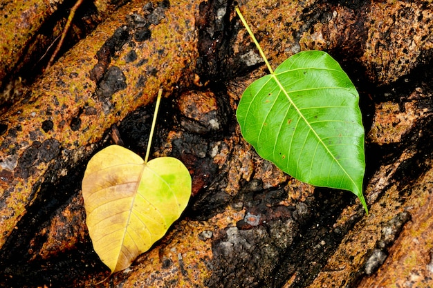 Green leaf on tree root after raining day
