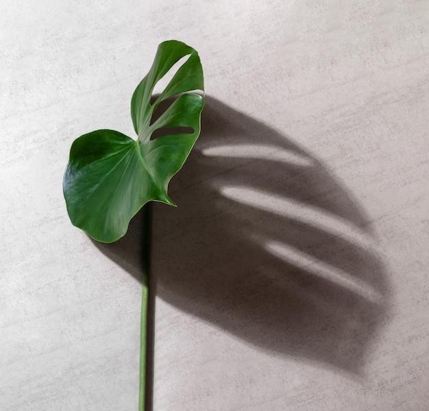 Зеленые листья тропических растений монстера с тенью на сером фоне