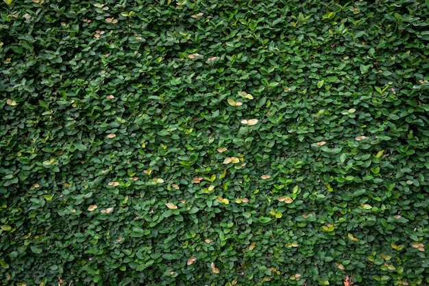 Green leaf wall texture background. vine on the wall.