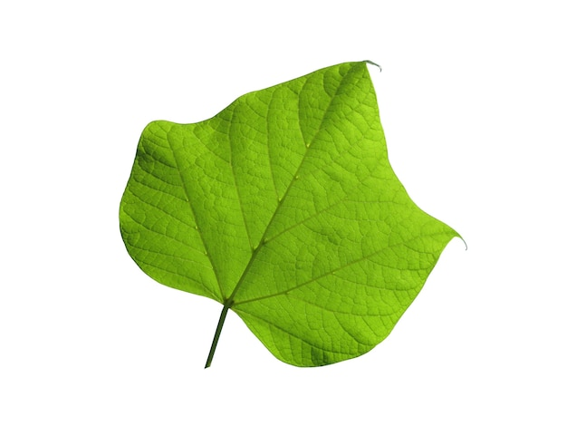 Green leaf on a white isolated on white background