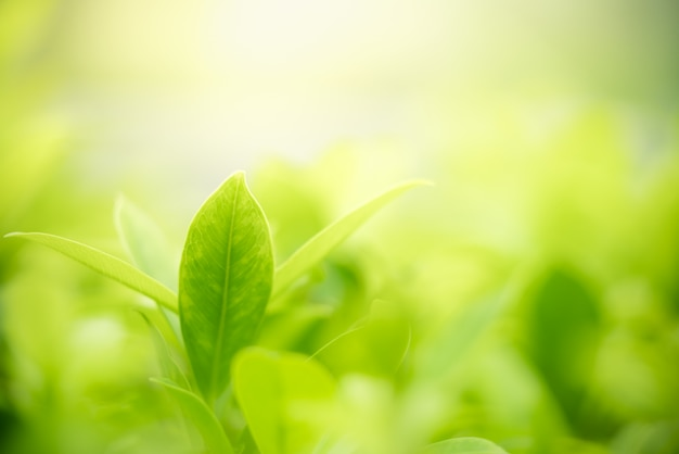Green leaf with copy space using as background or wallpaper nature concept.