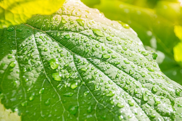 Green leaf with transparent drops after the rain