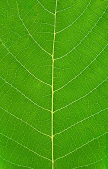 Green leaf with veins vertical background