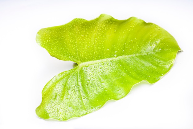 Green leaf with water droplets,closeup on white background Premium Photo