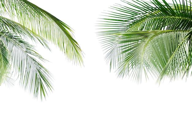 Зеленый лист кокосовой пальмы, изолированные на белом фоне