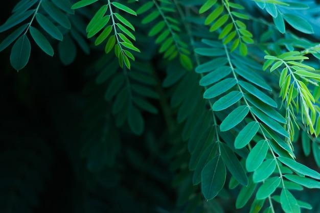 Green leaves of acacia