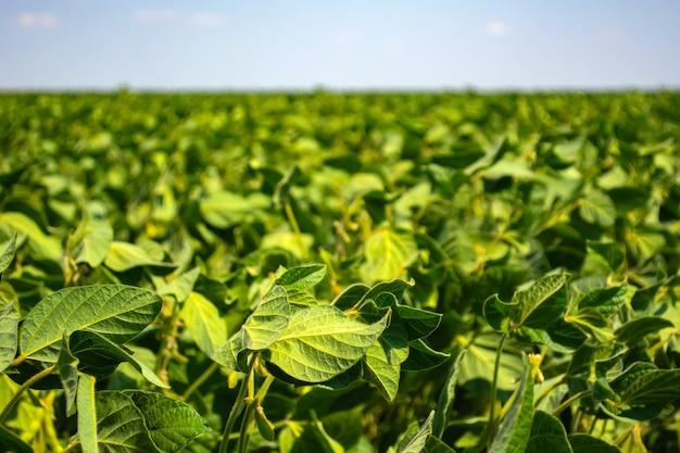 Зеленые листья и бобы молодой сои в поле.