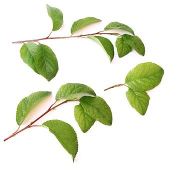 緑の葉と白い背景のセットで分離された梅の木の枝