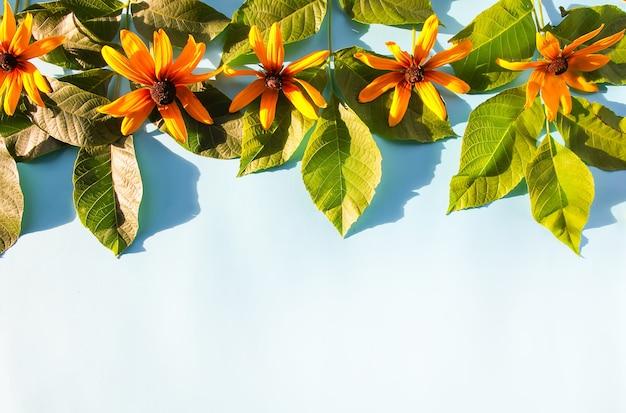 Зеленые листья и цветы рудбекии на синем пастельном фоне в солнечном свете. летняя открытка, плакат, дизайн баннера.