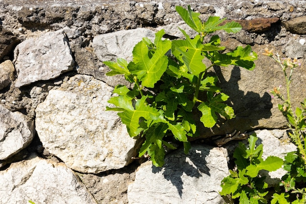 石の間に芽生えた春のイチジクの木の緑の葉と新芽。