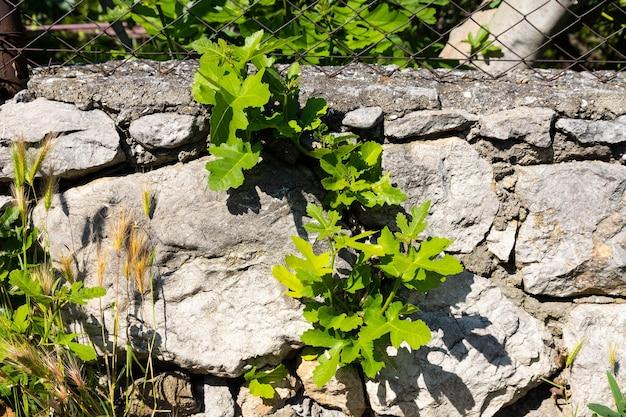 石の間に発芽した春のイチジクの木の緑の葉と芽。