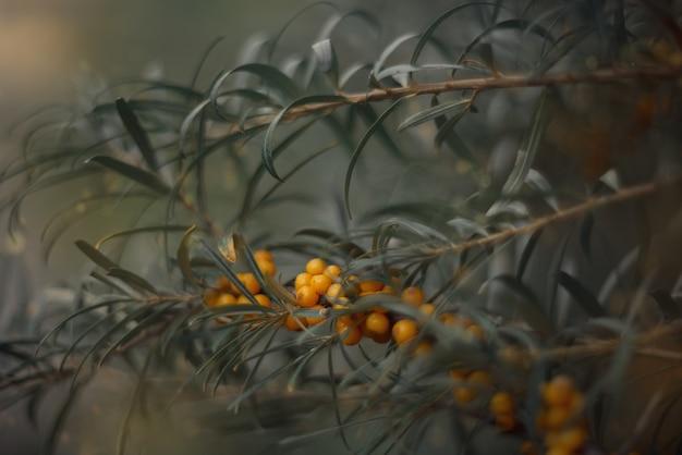 緑の葉と海クロウメモドキの黄色い果実