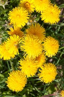 春の真っ只中のタンポポの緑の葉と黄色い花、森の空き地