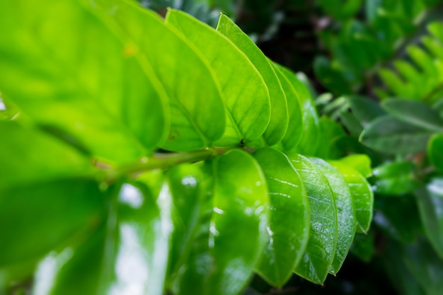 Green leaves arranged in rows. the beauty of the tropical forest concept.