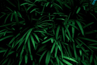Green leaves background. Green leaves color tone dark  in the morning. Tropical Plant