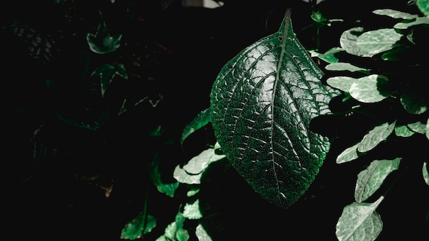 Green leaves background. green leaves color tone dark in the morning. plant, environment, photo concept nature and plant.