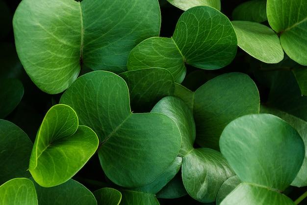 緑の葉の背景。ポウエフビーチランナーまたは朝顔。