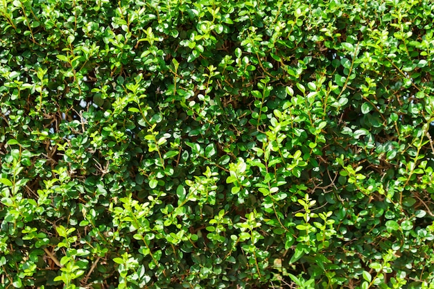 Green leaves background. textured small leaves wall