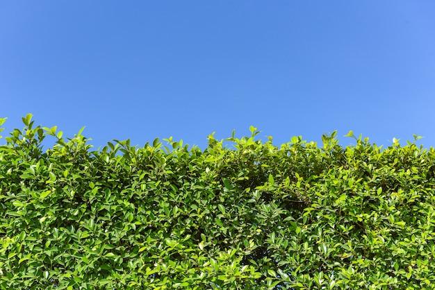 青空または自然な壁のテクスチャ、緑の葉の正方形のフレームと緑の葉の背景