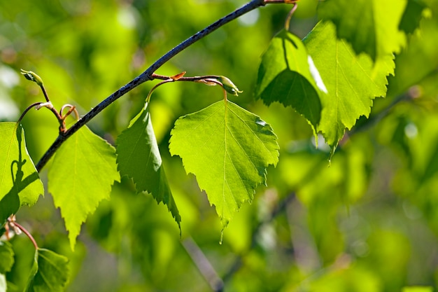 The green leaves of a birch photographed by a close up. small depth of sharpness, sunlight behind a tree