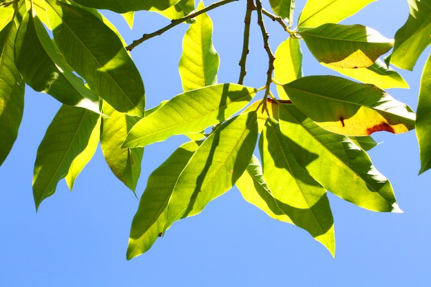 Green leaves branch against on the blue sky in natural sunlight