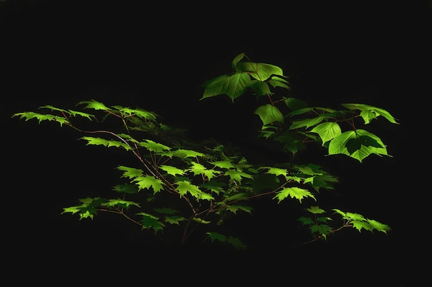 Green leaves on branches isolated on a black background