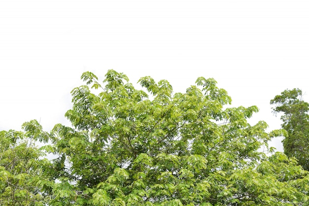 Green leaves and branches tree on white background decoration plant in gardens
