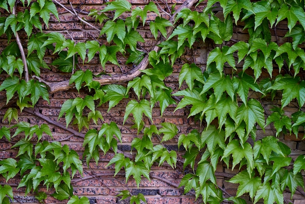 Green leaves on a brick wall.